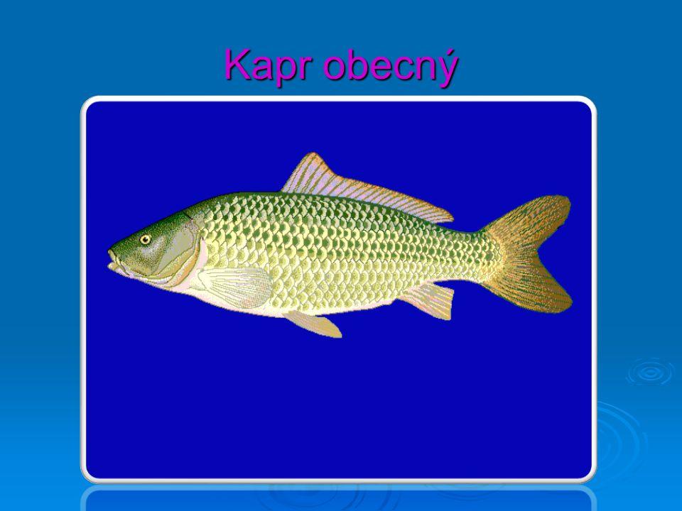Stavba těla ryby (kapr obecný) PPPPovrch těla: vícevrstevná pokožka (produkuje šupiny, poskládané jako tašky na střeše) PPPPlynový měchýř – spec.orgán, hydrostatickou fci – nadnášení PPPPostranní čára – proudový orgán, slouží k orientaci v kalné vodě či za tmy SSSSmysly – zrak, sluch, čich, hmat (vousky)