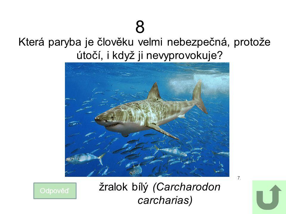 8 Která paryba je člověku velmi nebezpečná, protože útočí, i když ji nevyprovokuje? 7. Odpověď žralok bílý (Carcharodon carcharias)
