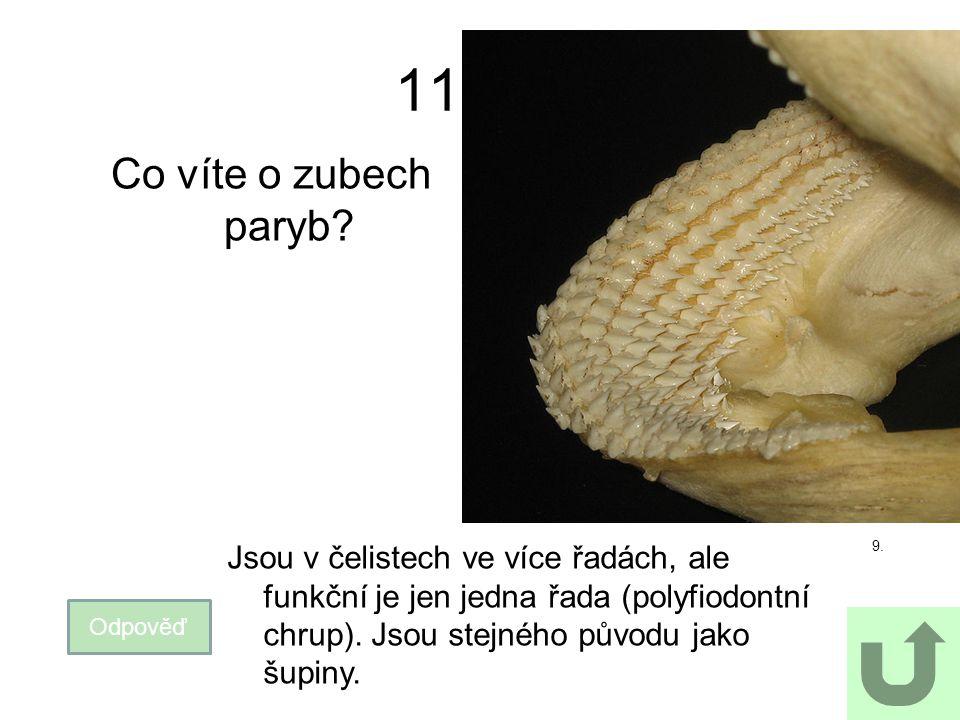 11 Co víte o zubech paryb? Odpověď Jsou v čelistech ve více řadách, ale funkční je jen jedna řada (polyfiodontní chrup). Jsou stejného původu jako šup