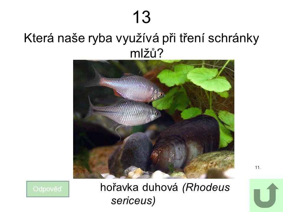 13 Která naše ryba využívá při tření schránky mlžů? Odpověď 11. hořavka duhová (Rhodeus sericeus)