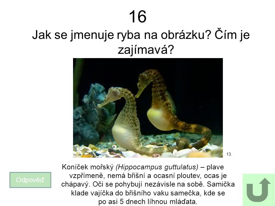 16 Jak se jmenuje ryba na obrázku? Čím je zajímavá? Odpověď Koníček mořský (Hippocampus guttulatus) – plave vzpřímeně, nemá břišní a ocasní ploutev, o