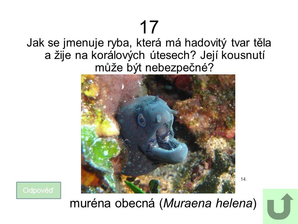 17 Jak se jmenuje ryba, která má hadovitý tvar těla a žije na korálových útesech? Její kousnutí může být nebezpečné? 14. Odpověď muréna obecná (Muraen