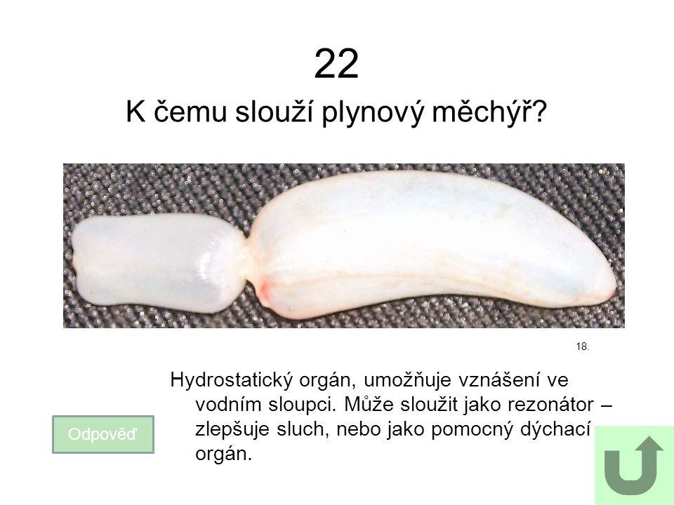 22 K čemu slouží plynový měchýř? Odpověď Hydrostatický orgán, umožňuje vznášení ve vodním sloupci. Může sloužit jako rezonátor – zlepšuje sluch, nebo