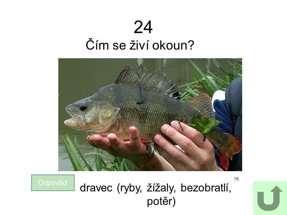 24 Čím se živí okoun? Odpověď dravec (ryby, žížaly, bezobratlí, potěr) 19.