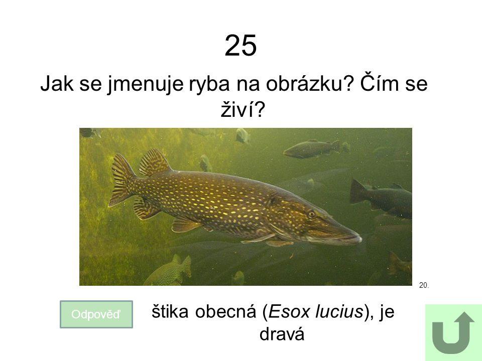 25 Jak se jmenuje ryba na obrázku? Čím se živí? Odpověď štika obecná (Esox lucius), je dravá 20.