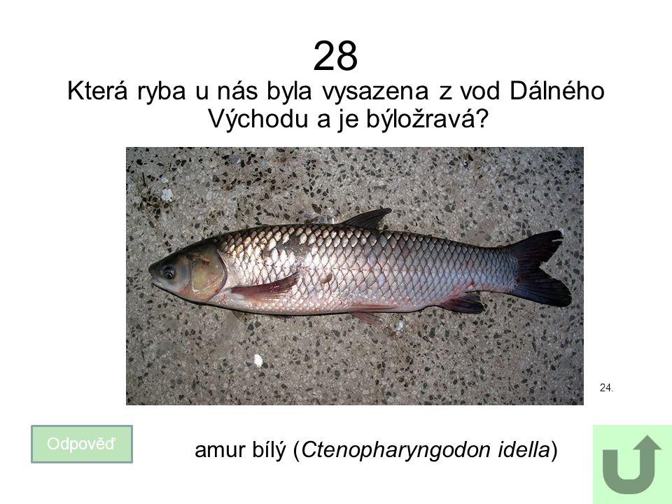 28 Která ryba u nás byla vysazena z vod Dálného Východu a je býložravá? Odpověď amur bílý (Ctenopharyngodon idella) 24.