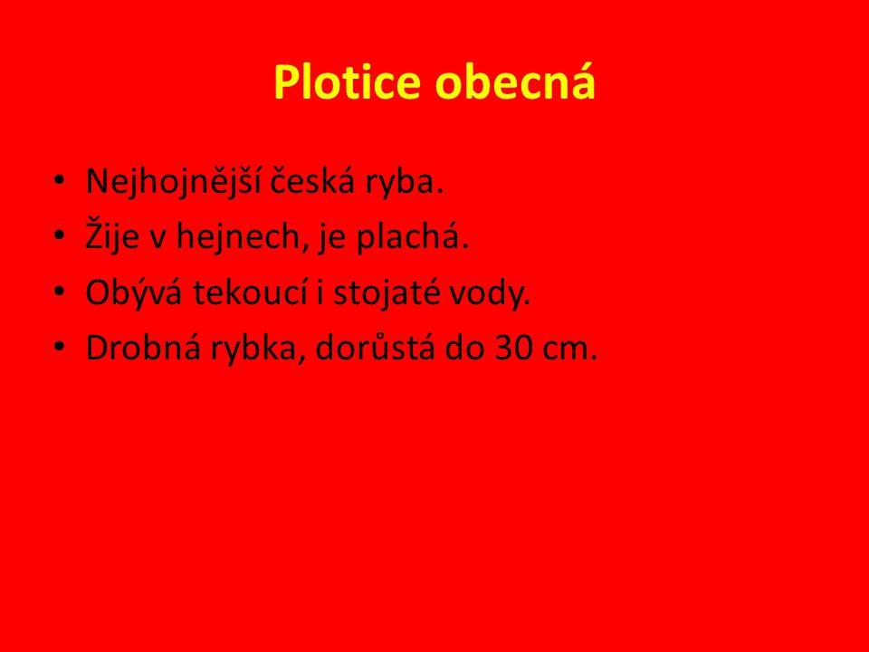 Plotice obecná Nejhojnější česká ryba. Žije v hejnech, je plachá. Obývá tekoucí i stojaté vody. Drobná rybka, dorůstá do 30 cm.