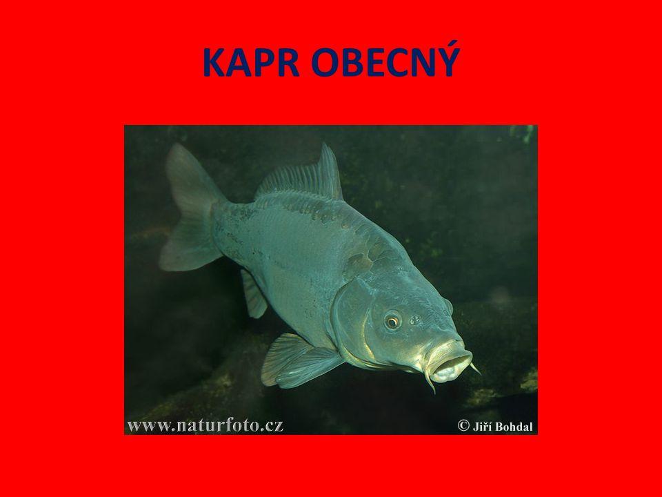 Kapr obecný Naše nejznámější ryba.Chová se ve stojatých vodách rybníků.