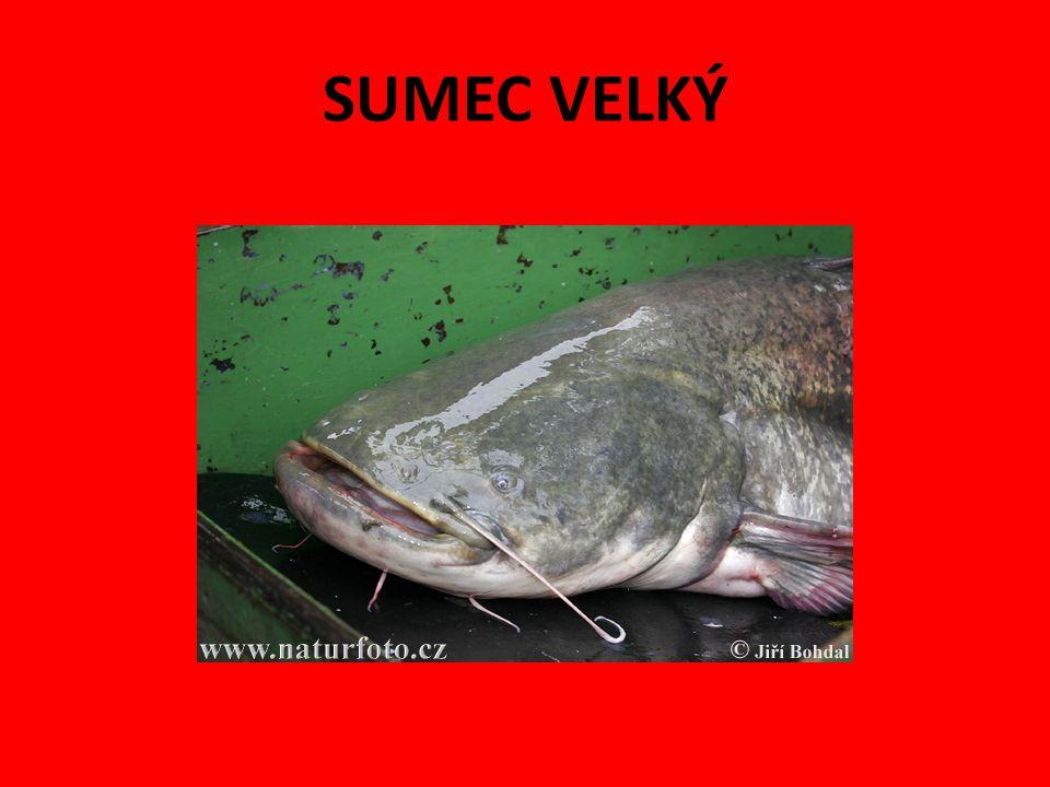 Jeseter velký Mají chrupavčitou kostru.Jsou to největší sladkovodní ryby, mohou vážit až 1 tunu.