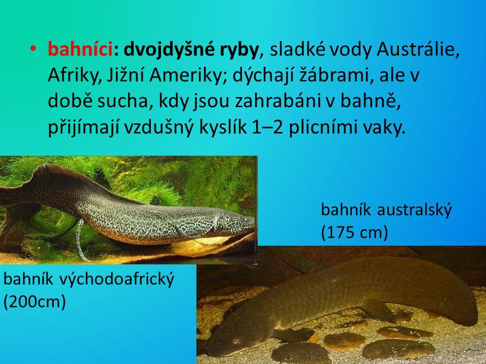 bahníci: dvojdyšné ryby, sladké vody Austrálie, Afriky, Jižní Ameriky; dýchají žábrami, ale v době sucha, kdy jsou zahrabáni v bahně, přijímají vzdušn