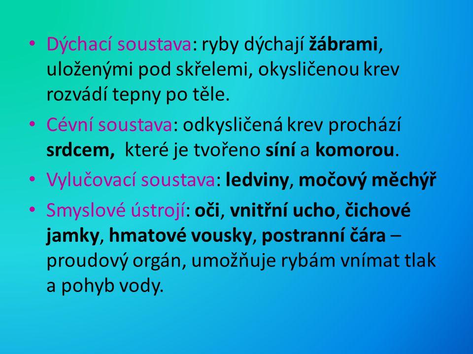 Dýchací soustava: ryby dýchají žábrami, uloženými pod skřelemi, okysličenou krev rozvádí tepny po těle. Cévní soustava: odkysličená krev prochází srdc
