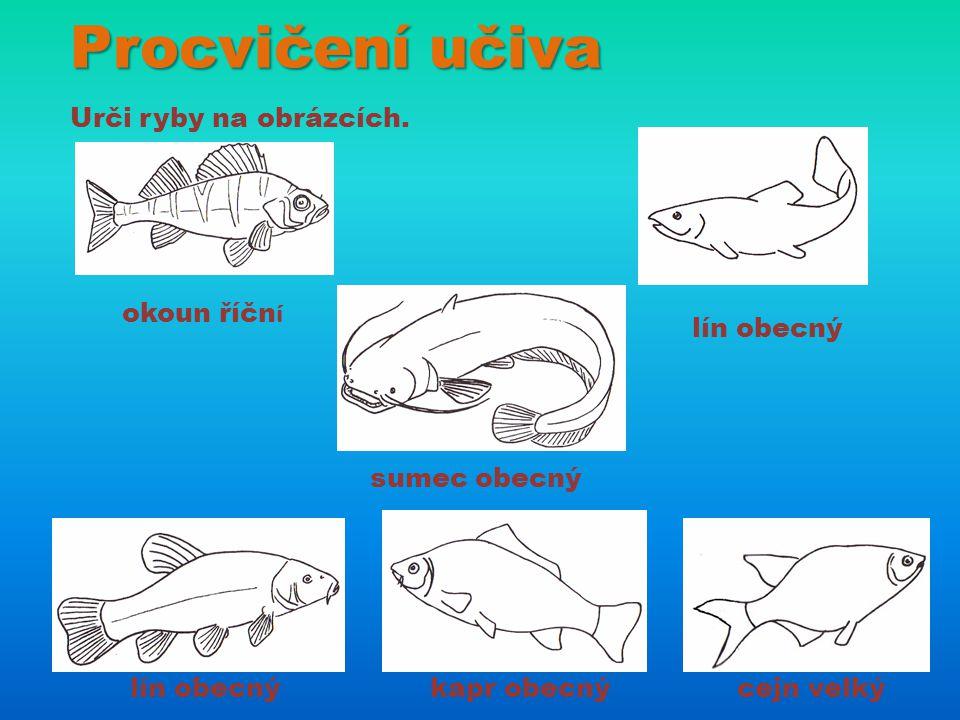 Procvičení učiva Urči ryby na obrázcích. okoun říčn í lín obecný sumec obecný lín obecnýkapr obecnýcejn velký
