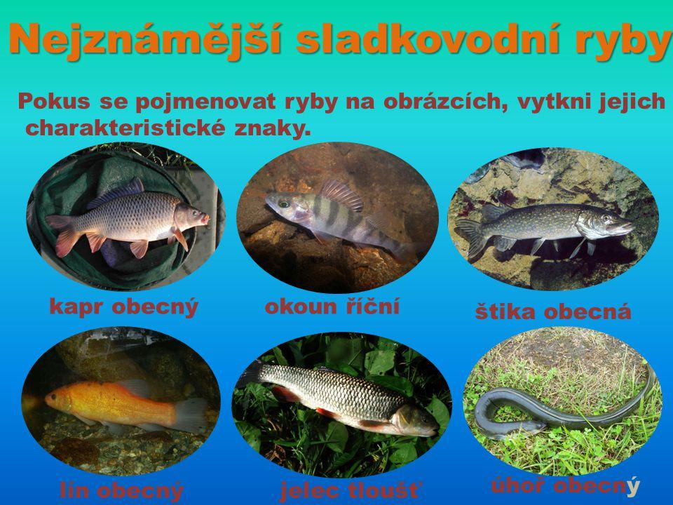 Nejznámější sladkovodní ryby Pokus se pojmenovat ryby na obrázcích, vytkni jejich charakteristické znaky. kapr obecnýokoun říční štika obecná lín obec