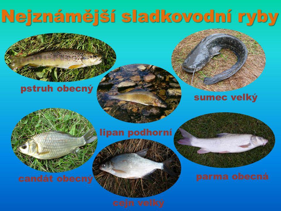 Nejznámější sladkovodní ryby pstruh obecný sumec velký lipan podhorní candát obecný parma obecná cejn velký