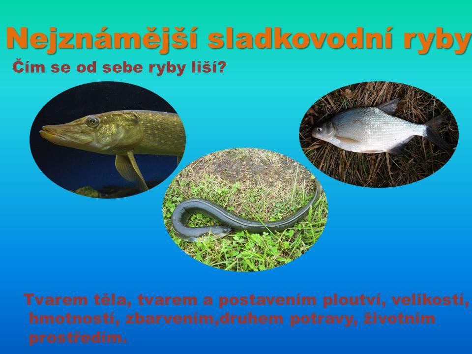 Nejznámější sladkovodní ryby Čím se od sebe ryby liší? Tvarem těla, tvarem a postavením ploutví, velikostí, hmotností, zbarvením,druhem potravy, život