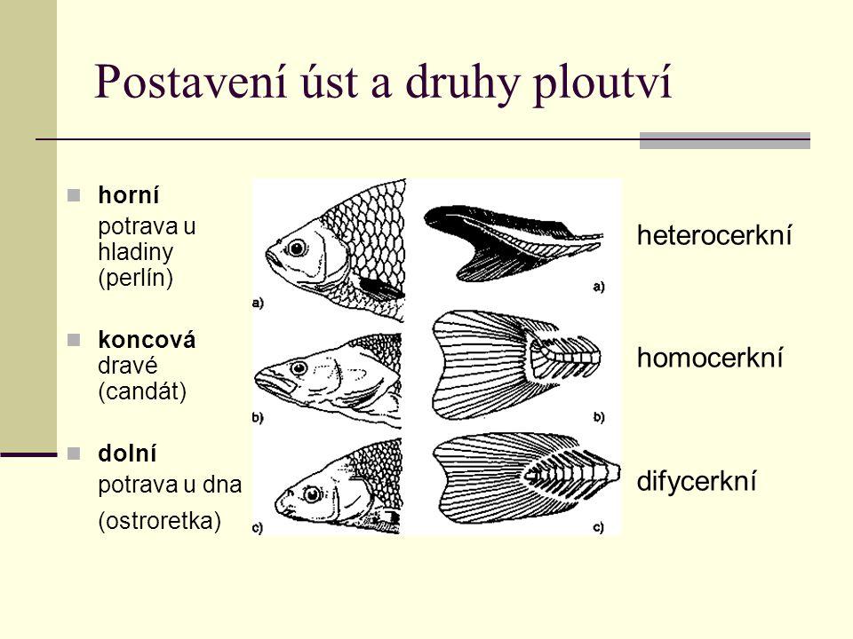 Nadřád: DVOJDYŠNÍ (Dipnoi) Samostatná vývojová větev Znaky, dokládající možnou cestu vývoje k suchozemským obratlovcům Jsou to protáhlé Přes 1 m dlouhé ryby Chrupavčitá kostra Kosmoidní šupiny Ocasní ploutev souměrná vně i zevnitř (difycerkní) Sladké vody tropických oblasí Dýchání žábrami rovnocenné s plicním