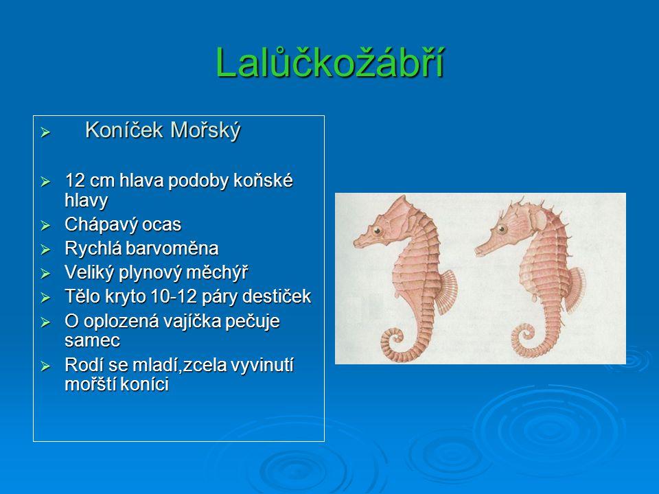 Lalůčkožábří  Koníček Mořský  12 cm hlava podoby koňské hlavy  Chápavý ocas  Rychlá barvoměna  Veliký plynový měchýř  Tělo kryto 10-12 páry dest
