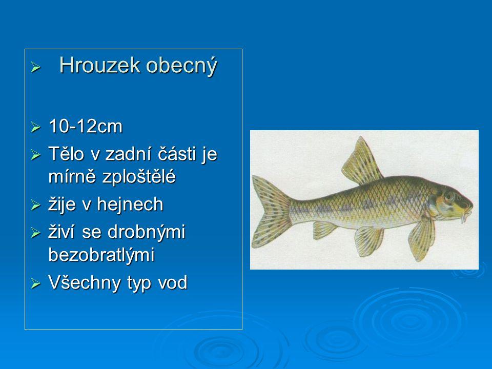  Hrouzek obecný  10-12cm  Tělo v zadní části je mírně zploštělé  žije v hejnech  živí se drobnými bezobratlými  Všechny typ vod