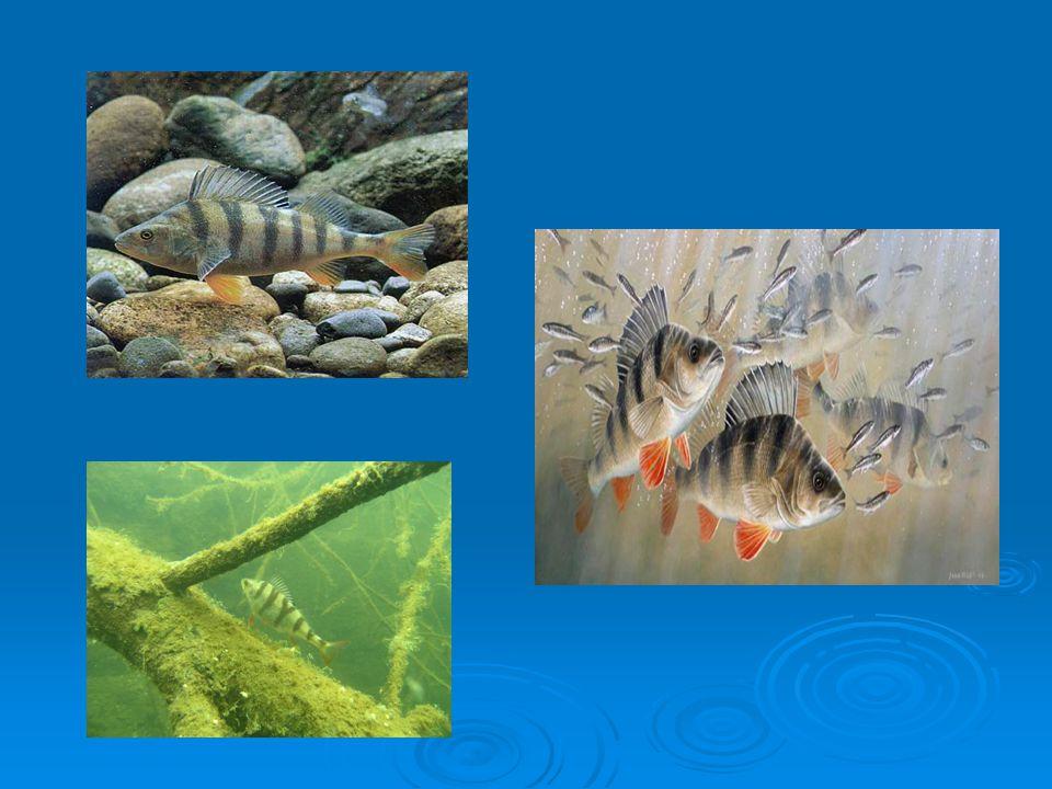  Pstruh potoční  Všude tam,kde žil nebo žije pstruh mořsky se vytvořili sladkovodní populace,které přestali táhnout  Až 50cm,2kg  Žijí v čistých vodách bohatých na kyslík
