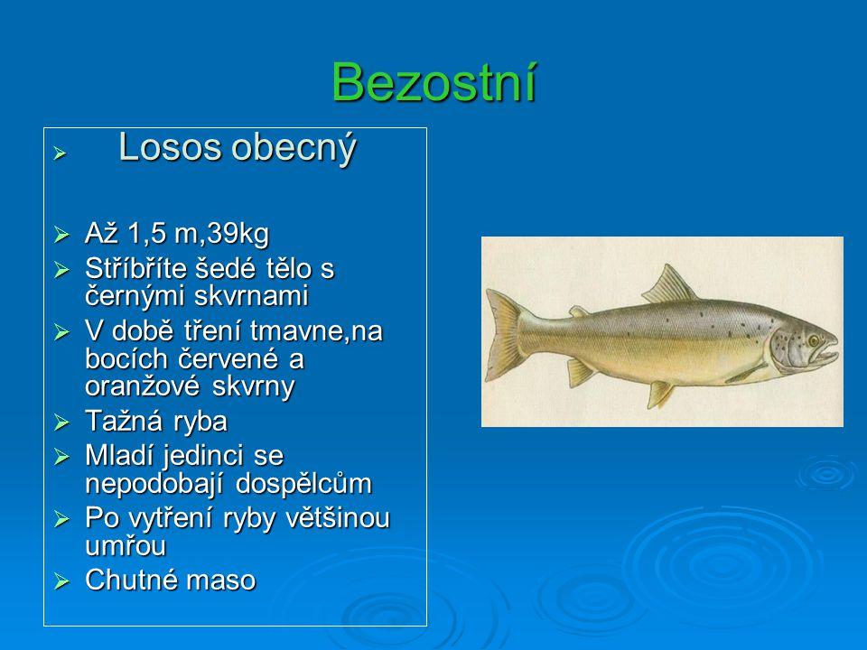 Bezostní  Losos obecný  Až 1,5 m,39kg  Stříbříte šedé tělo s černými skvrnami  V době tření tmavne,na bocích červené a oranžové skvrny  Tažná ryb