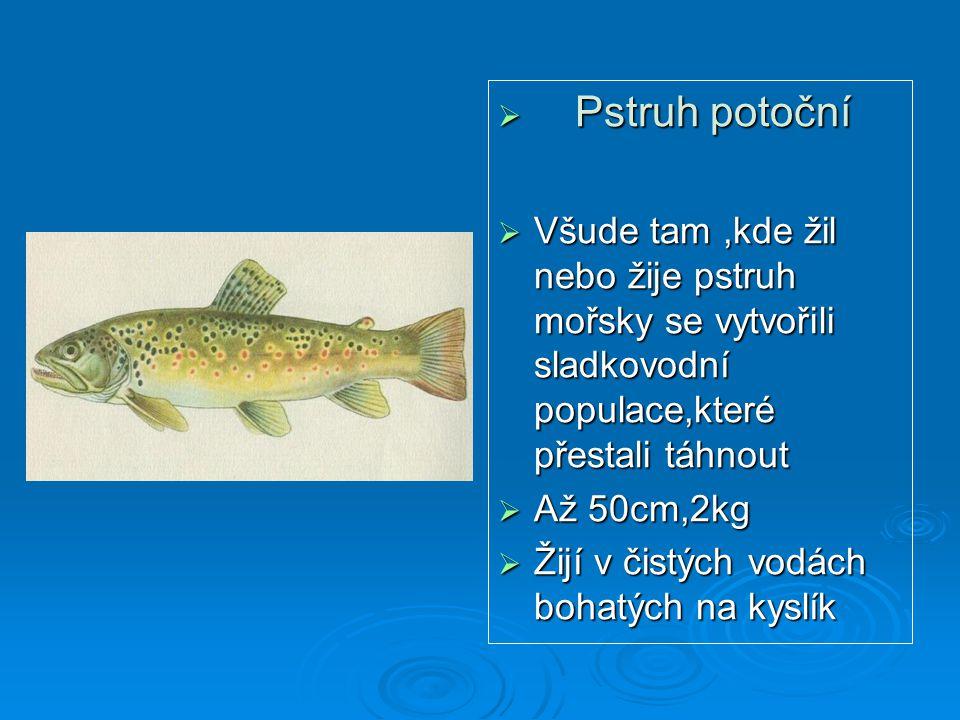  Pstruh potoční  Všude tam,kde žil nebo žije pstruh mořsky se vytvořili sladkovodní populace,které přestali táhnout  Až 50cm,2kg  Žijí v čistých v