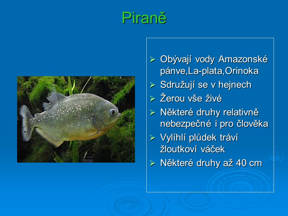 Piraně  Obývají vody Amazonské pánve,La-plata,Orinoka  Sdružují se v hejnech  Žerou vše živé  Některé druhy relativně nebezpečné i pro člověka  V