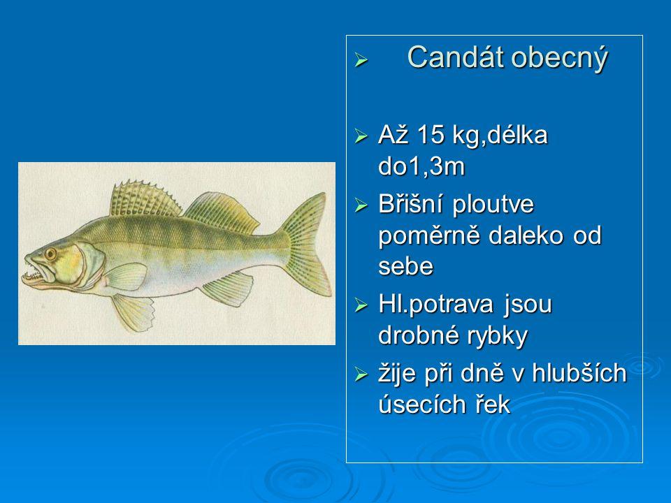  Candát obecný  Až 15 kg,délka do1,3m  Břišní ploutve poměrně daleko od sebe  Hl.potrava jsou drobné rybky  žije při dně v hlubších úsecích řek