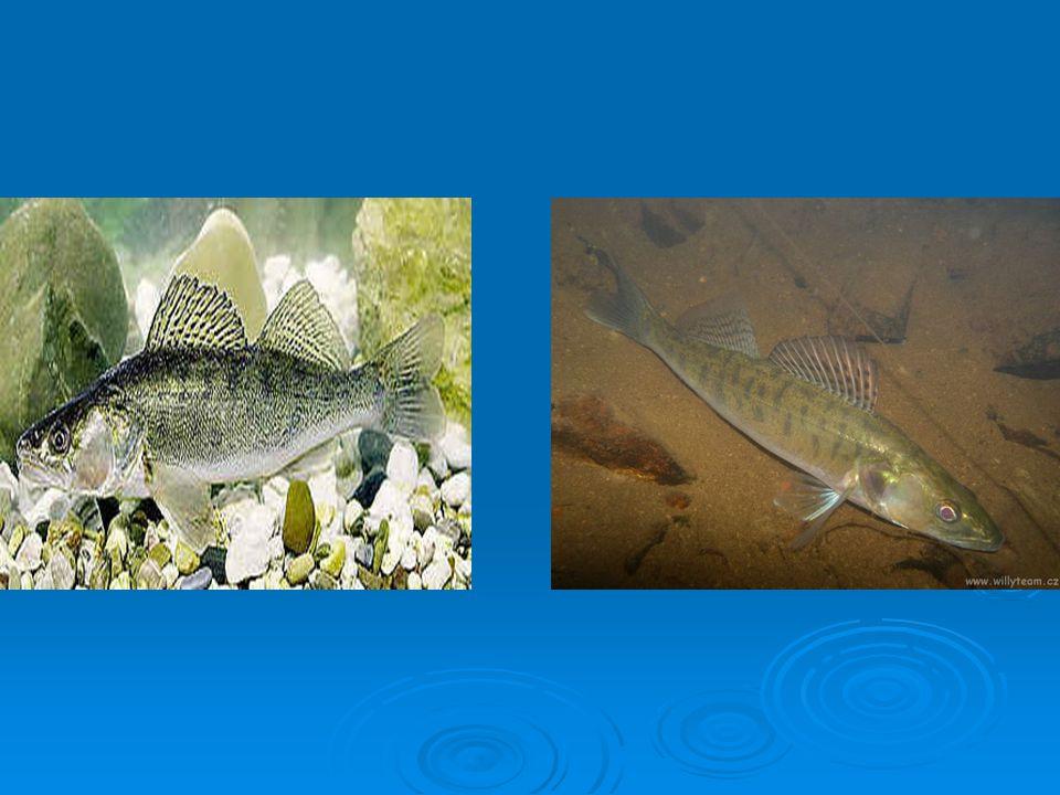  Bolen dravý  Až 1metr,15kg  Velká kaprovitá ryba s širokými ústy  dravá ryba dolních toků řek  Živí se rybami a jinými drobnějšími obratlovci