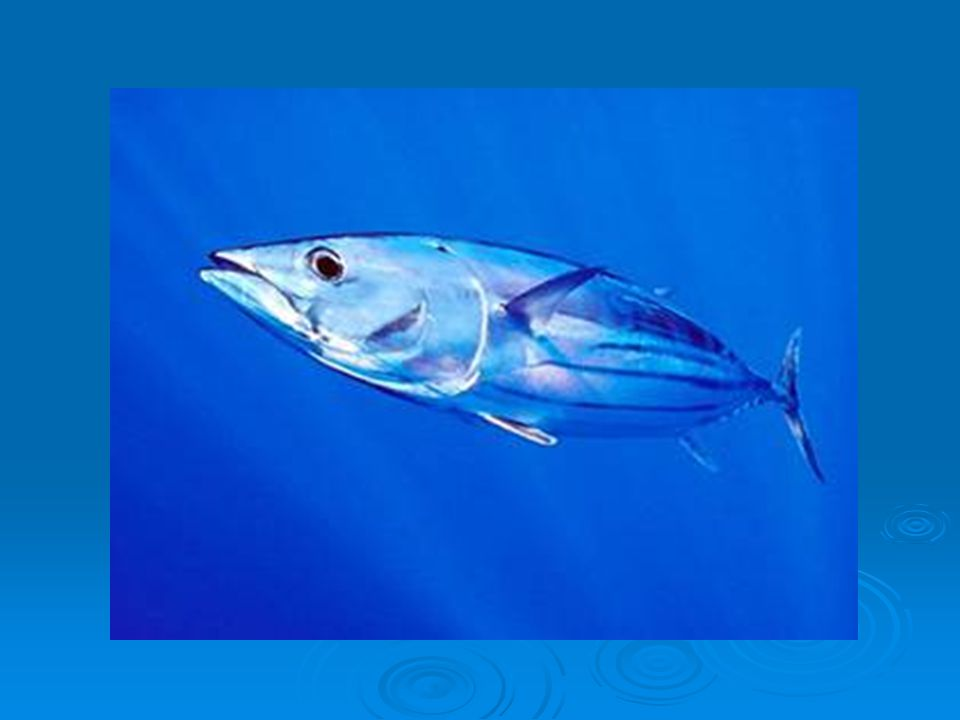  Makrela obecná  45 cm,rychle plovoucí ryba  Hluboce vykrojená ocasní ploutev  Velké oči,svislá tuková víčka  Nemá plynový měchýř,může rychle měnit hloubku plavaní  Velký hospodářský význam