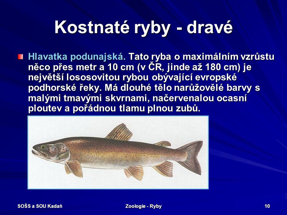 SOŠS a SOU Kadaň Zoologie - Ryby 10 Kostnaté ryby - dravé Hlavatka podunajská. Tato ryba o maximálním vzrůstu něco přes metr a 10 cm (v ČR, jinde až 1