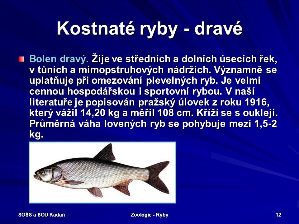 SOŠS a SOU Kadaň Zoologie - Ryby 12 Kostnaté ryby - dravé Bolen dravý. Žije ve středních a dolních úsecích řek, v tůních a mimopstruhových nádržích. V