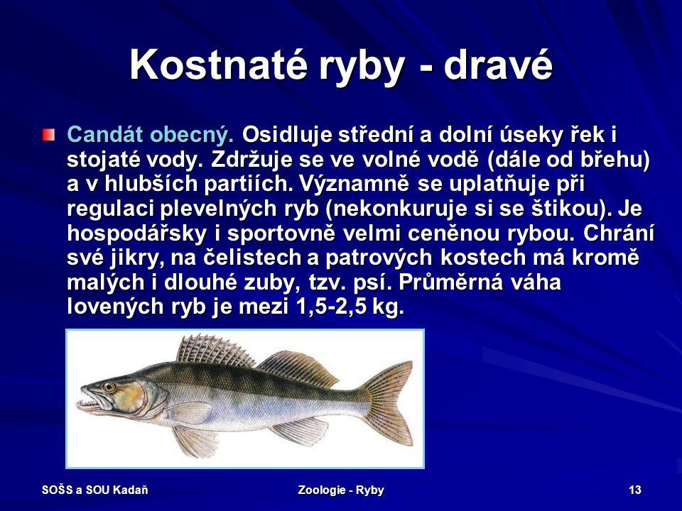 SOŠS a SOU Kadaň Zoologie - Ryby 13 Kostnaté ryby - dravé Candát obecný. Osidluje střední a dolní úseky řek i stojaté vody. Zdržuje se ve volné vodě (