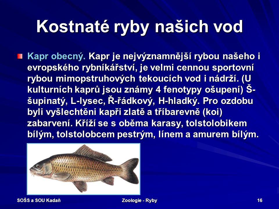 SOŠS a SOU Kadaň Zoologie - Ryby 16 Kostnaté ryby našich vod Kapr obecný. Kapr je nejvýznamnější rybou našeho i evropského rybníkářství, je velmi cenn