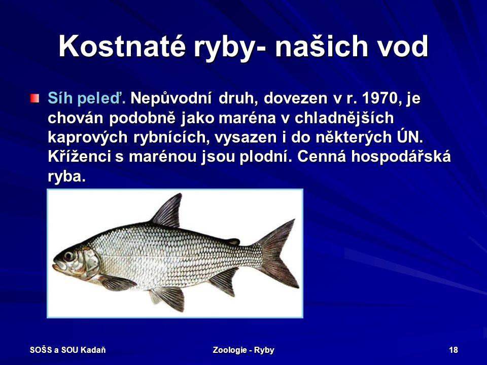 SOŠS a SOU Kadaň Zoologie - Ryby 18 Kostnaté ryby- našich vod Síh peleď. Nepůvodní druh, dovezen v r. 1970, je chován podobně jako maréna v chladnější
