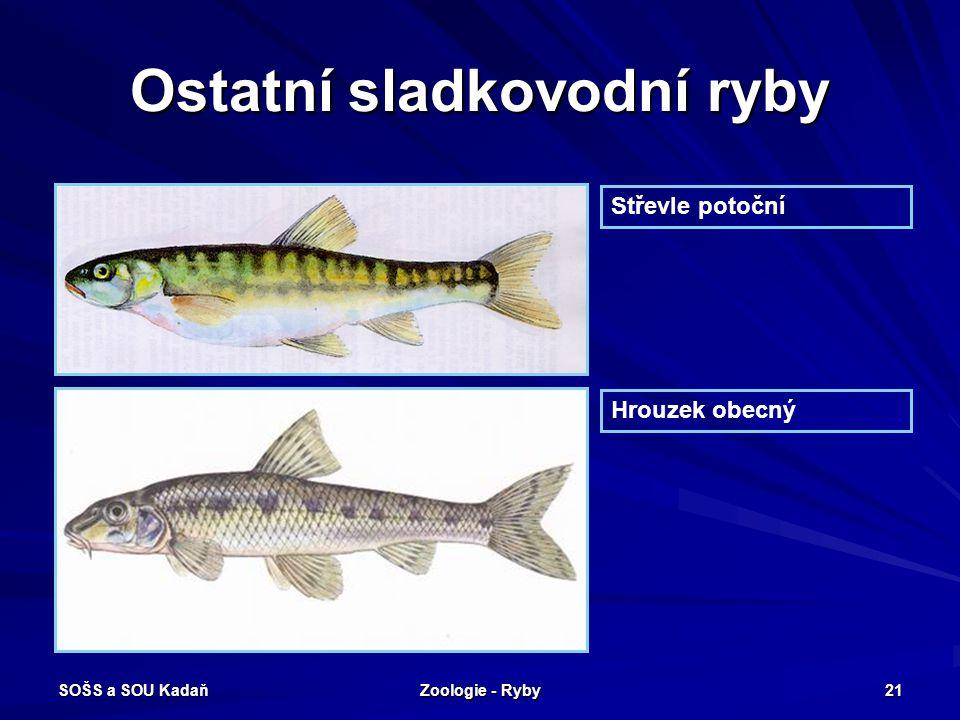 SOŠS a SOU Kadaň Zoologie - Ryby 21 Ostatní sladkovodní ryby Střevle potoční Hrouzek obecný