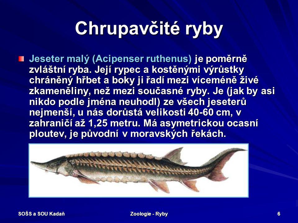 SOŠS a SOU Kadaň Zoologie - Ryby 6 Chrupavčité ryby Jeseter malý (Acipenser ruthenus) je poměrně zvláštní ryba. Její rypec a kostěnými výrůstky chráně