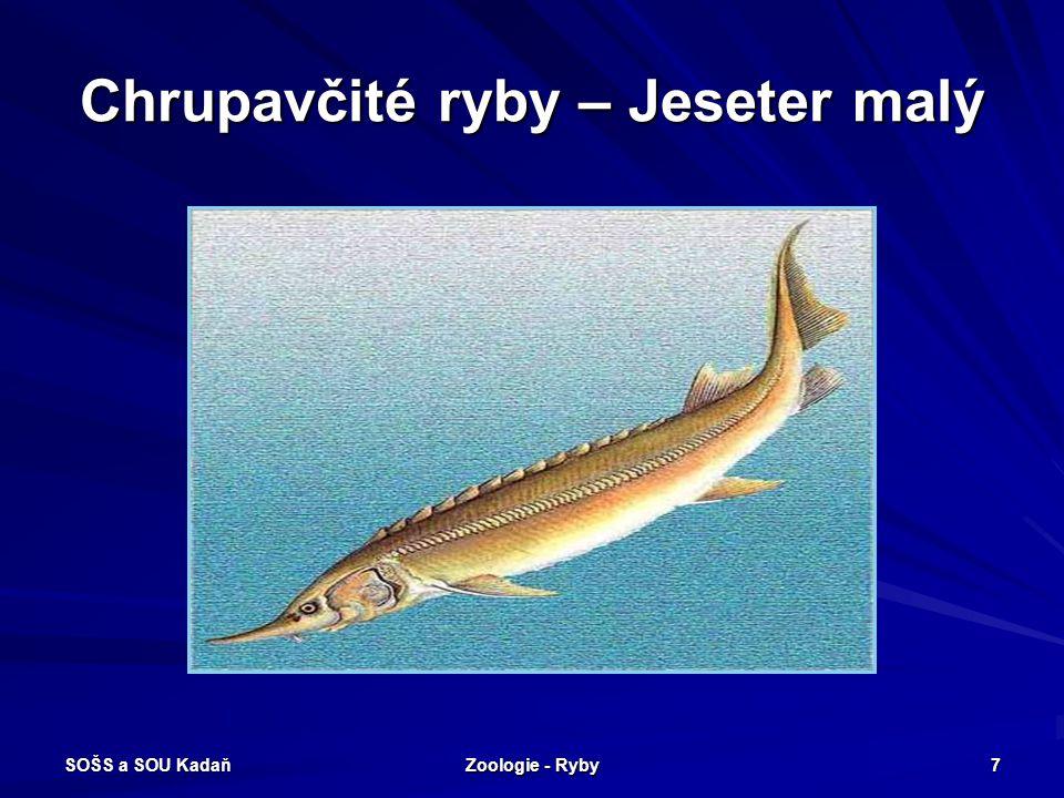 SOŠS a SOU Kadaň Zoologie - Ryby 7 Chrupavčité ryby – Jeseter malý