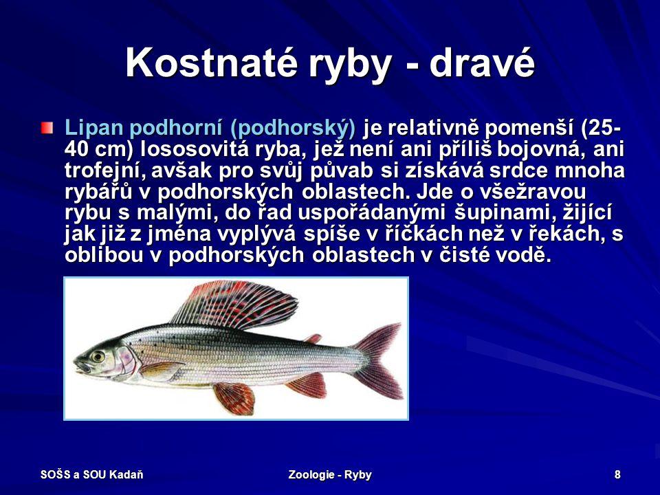 SOŠS a SOU Kadaň Zoologie - Ryby 9 Kostnaté ryby - dravé Losos obecný (Salmo salar) je dravá ryba se stříbrnými šupinami, dorůstající běžně velikosti něco pod metr (maximální úlovky jsou až 1,5m).