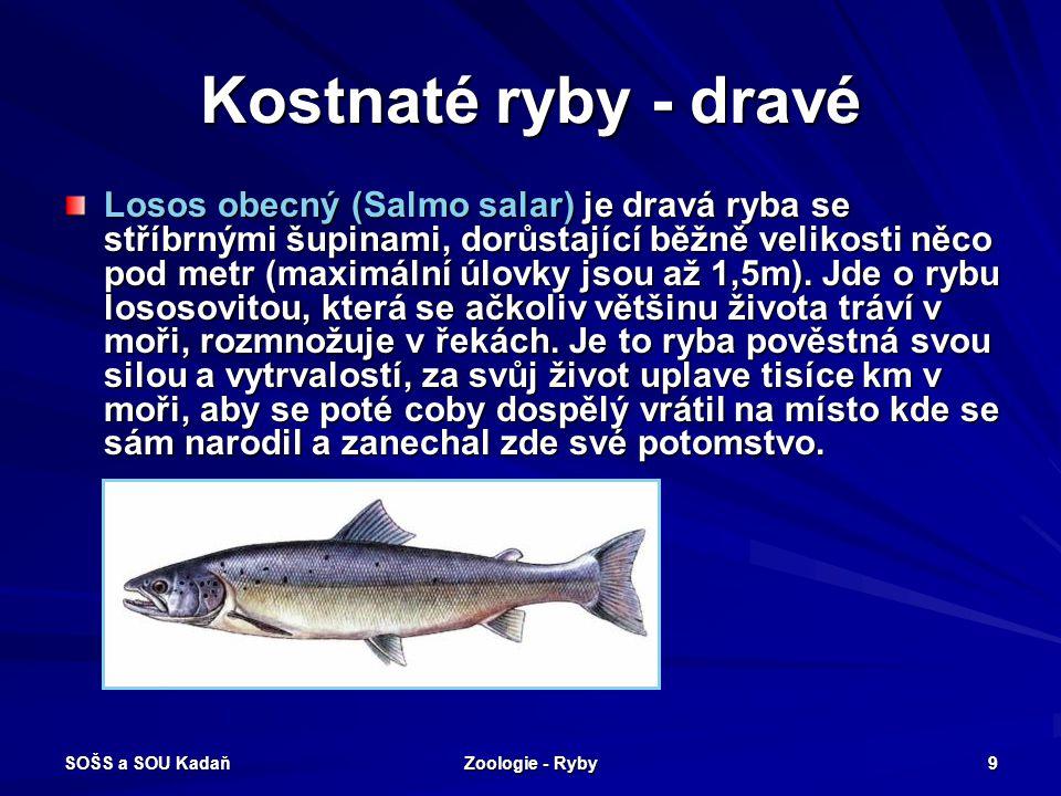 SOŠS a SOU Kadaň Zoologie - Ryby 9 Kostnaté ryby - dravé Losos obecný (Salmo salar) je dravá ryba se stříbrnými šupinami, dorůstající běžně velikosti