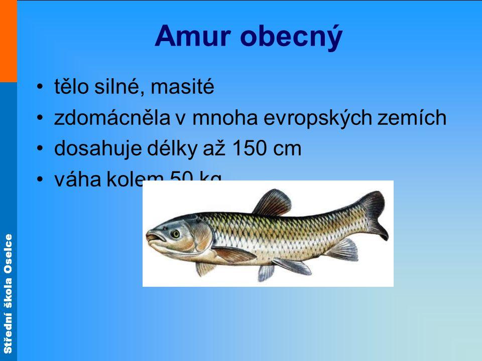 Střední škola Oselce Amur obecný tělo silné, masité zdomácněla v mnoha evropských zemích dosahuje délky až 150 cm váha kolem 50 kg