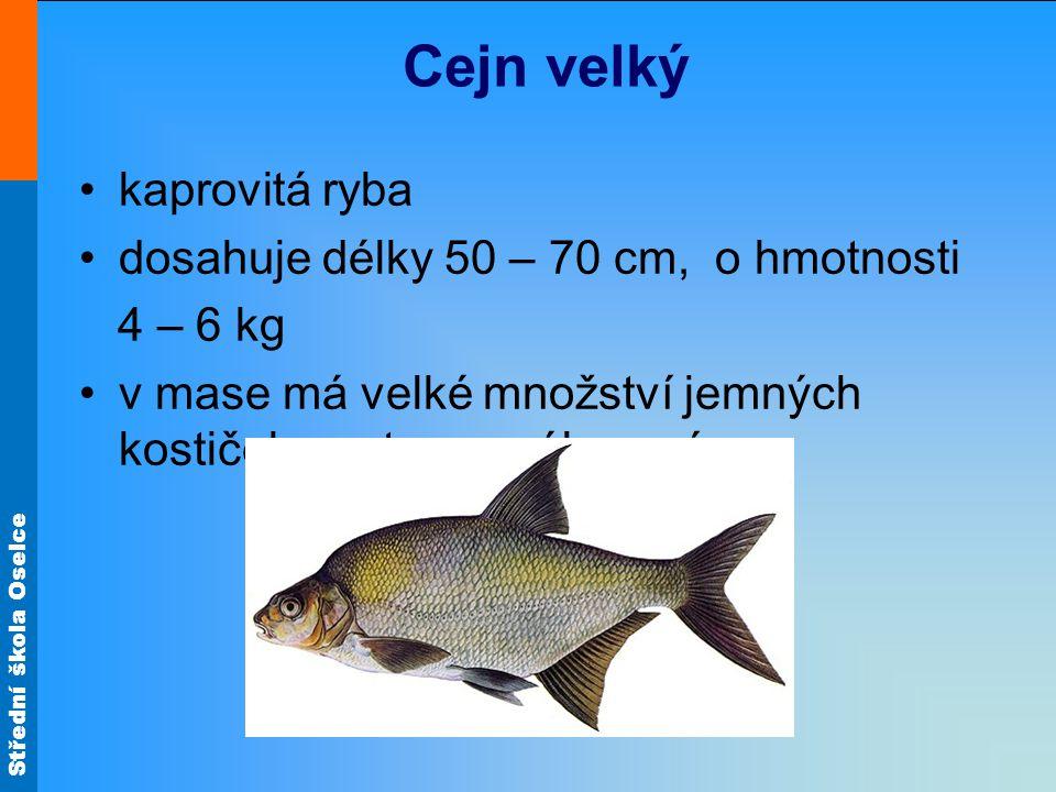 Střední škola Oselce Cejn velký kaprovitá ryba dosahuje délky 50 – 70 cm, o hmotnosti 4 – 6 kg v mase má velké množství jemných kostiček, proto se mál