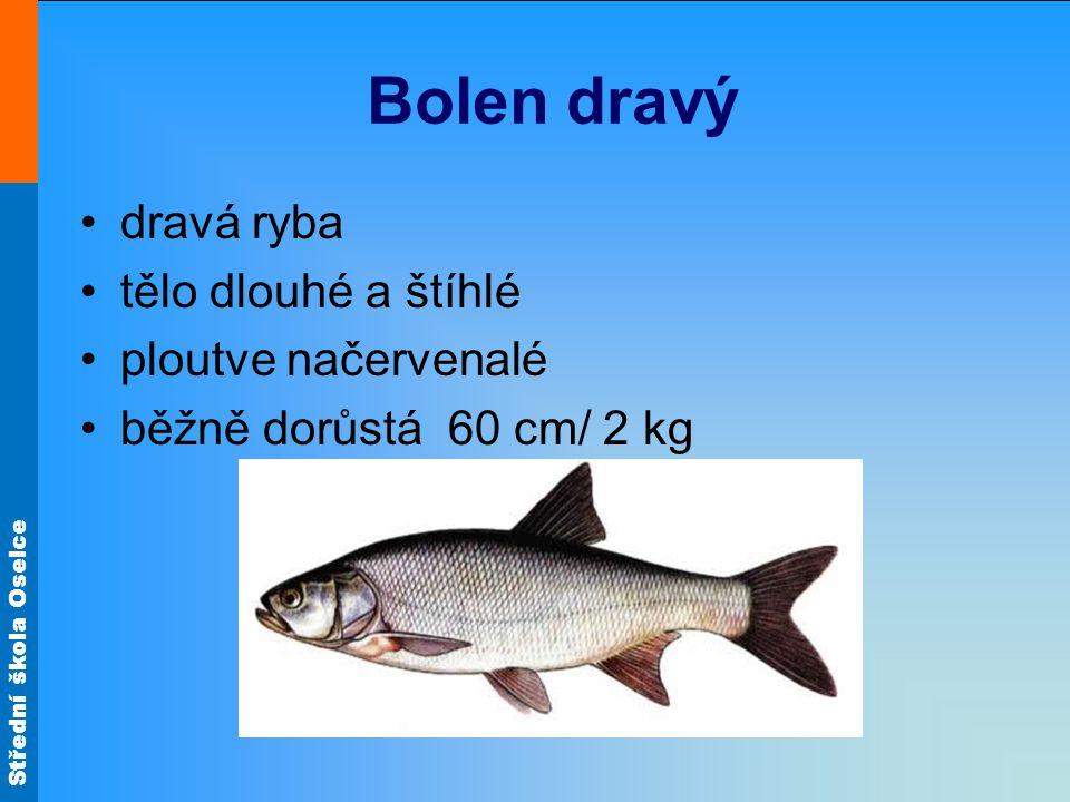 Střední škola Oselce Bolen dravý dravá ryba tělo dlouhé a štíhlé ploutve načervenalé běžně dorůstá 60 cm/ 2 kg