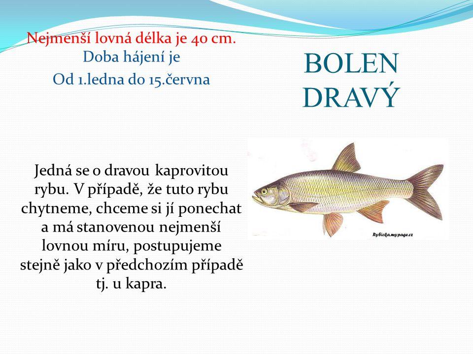 BOLEN DRAVÝ Nejmenší lovná délka je 40 cm. Doba hájení je Od 1.ledna do 15.června Jedná se o dravou kaprovitou rybu. V případě, že tuto rybu chytneme,