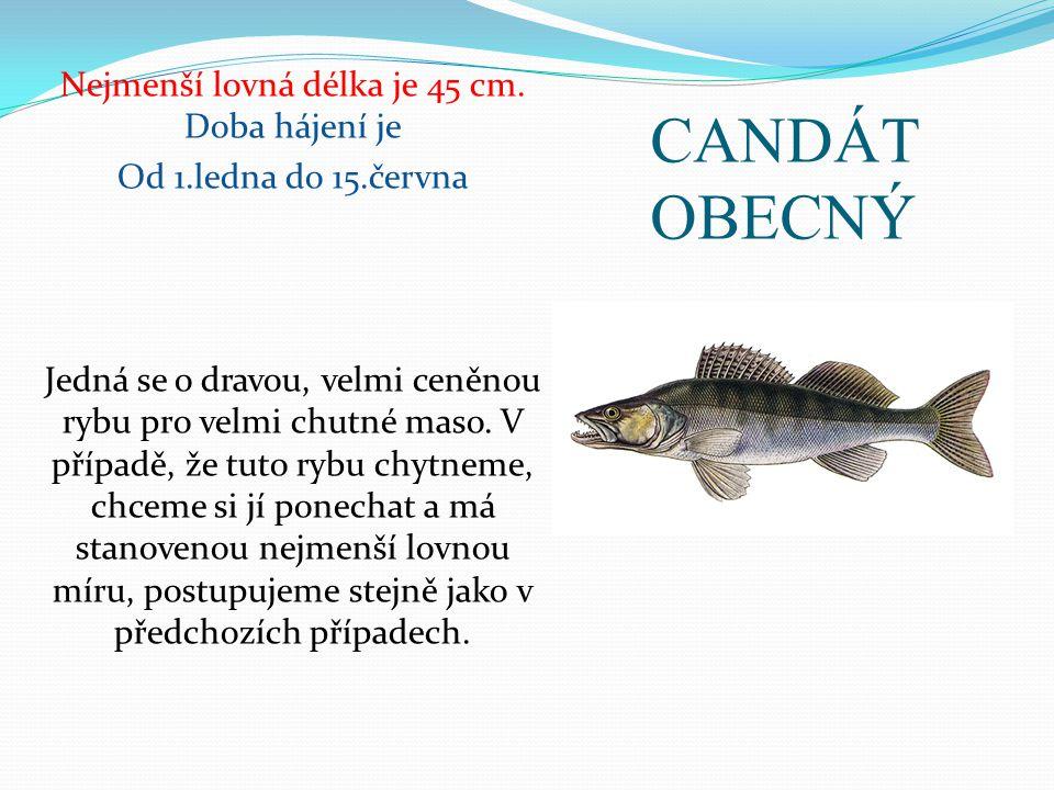 CANDÁT OBECNÝ Nejmenší lovná délka je 45 cm. Doba hájení je Od 1.ledna do 15.června Jedná se o dravou, velmi ceněnou rybu pro velmi chutné maso. V pří