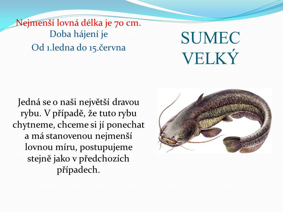 SUMEC VELKÝ Nejmenší lovná délka je 70 cm. Doba hájení je Od 1.ledna do 15.června Jedná se o naši největší dravou rybu. V případě, že tuto rybu chytne