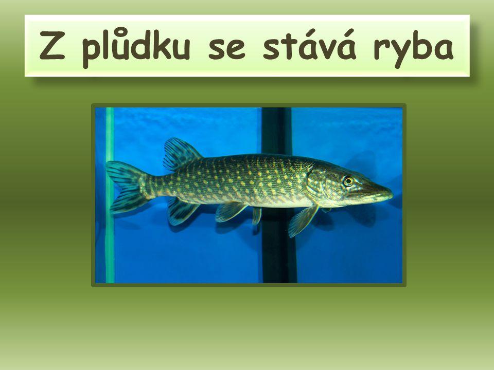 Z plůdku se stává ryba