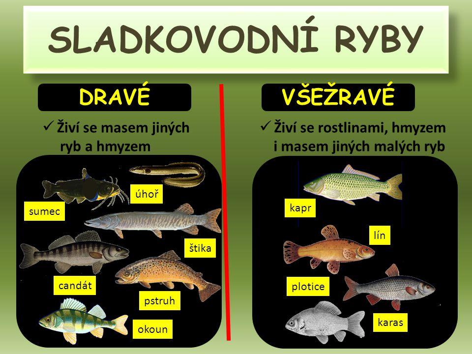 SLADKOVODNÍ RYBY DRAVÉ VŠEŽRAVÉ Živí se masem jiných ryb a hmyzem Živí se rostlinami, hmyzem i masem jiných malých ryb štika candát pstruh okoun plotice lín kapr karas sumec úhoř