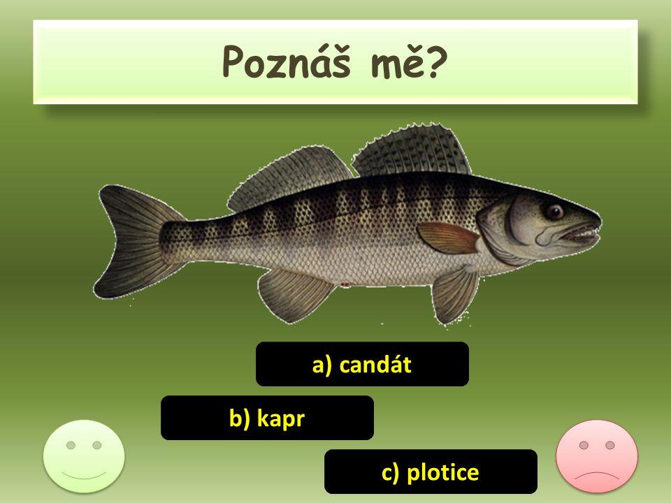 Poznáš mě? c) plotice b) kapr a) candát