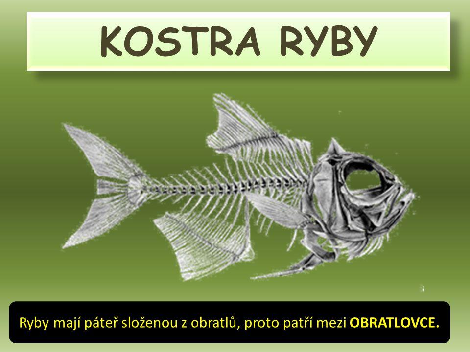 KOSTRA RYBY Ryby mají páteř složenou z obratlů, proto patří mezi OBRATLOVCE.