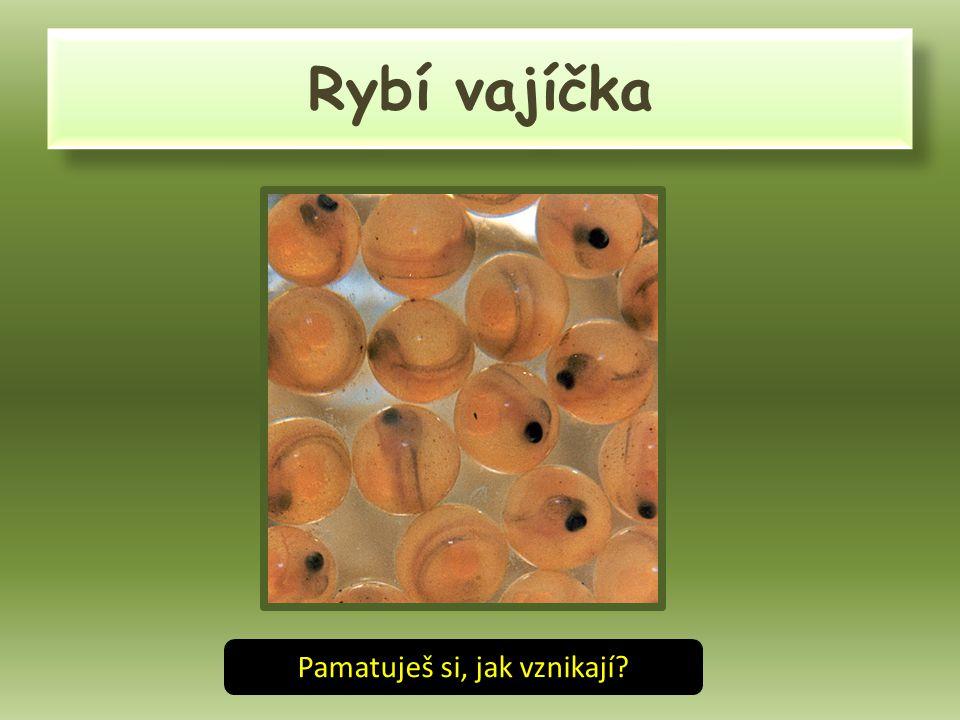 RYBÍ PLŮDEK Z vajíček se stává plůdek, který se vyživuje z vaječného žloutku.